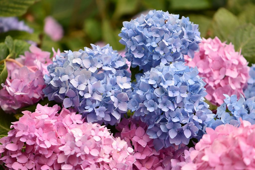 flowers, blue, pink