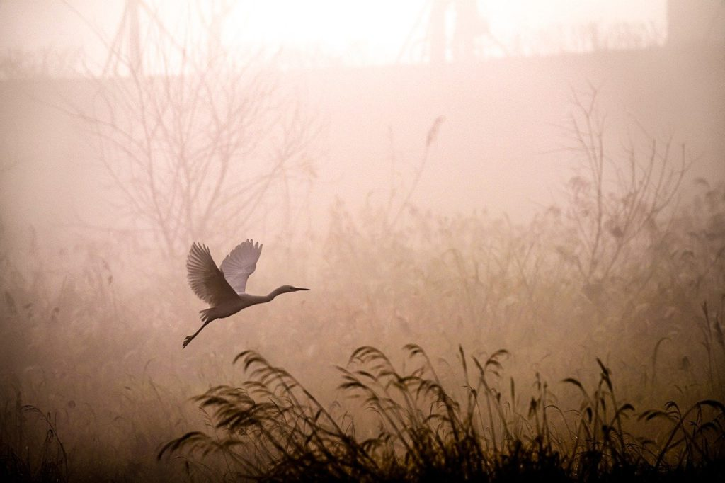 egret, flying, fog